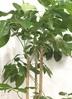 観葉植物 【190cm】ブラッサイア 10号 #21870 ※1都3県配送限定商品 3枚目