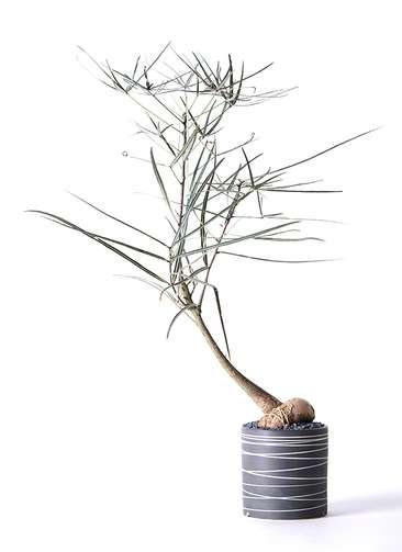 観葉植物 ボトルツリー 4号 Kross 【L size】
