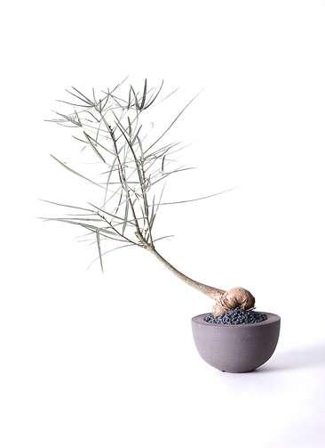 観葉植物 ボトルツリー 4号 Hemisphere 【L size】