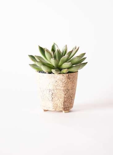 多肉植物 エケベリア アガベオイデス 3.5号 Type02 desert #β 【M size】