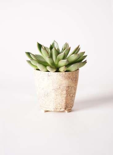 多肉植物 エケベリア アガベオイデス 3.5号 Type02 desert #β 【S size】