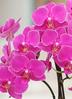 ミディ胡蝶蘭 ピンク 3本立ち パルテノ鉢付き 2枚目