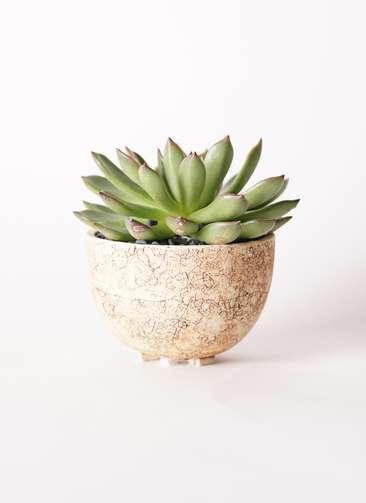 多肉植物 エケベリア アガベオイデス 3.5号 Type02 desert #γ 【S size】
