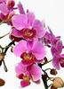 ミディ胡蝶蘭 紫 5本立ち 2枚目