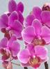 ミディ胡蝶蘭 紫 2本立ち パルテノ鉢付き 2枚目