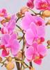 ミディ胡蝶蘭 ピンク 5本立ち 白平鉢付き 2枚目