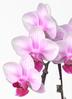 ミニ胡蝶蘭 ピンク 2本立ち 花びら小ぶり テーブルタイプ 2枚目