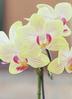 ミニ胡蝶蘭 黄色 1本立ち アクアポット付き 2枚目
