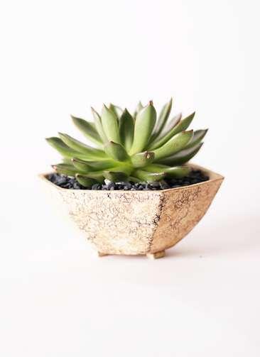 多肉植物 エケベリア アガベオイデス 3.5号 Type02 desert #δ 【L size】