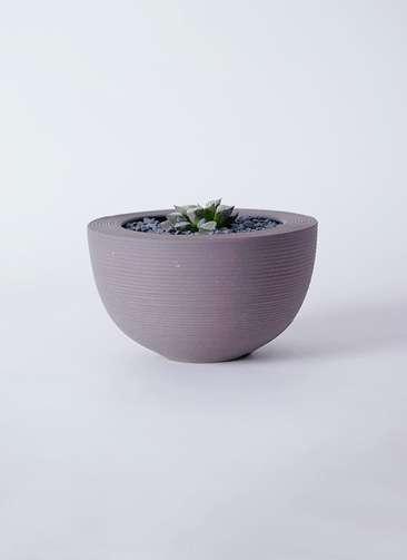 多肉植物 ハオルチア ウイミー 3号 Hemisphere 【L size】