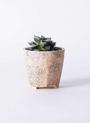 多肉植物 ハオルチア ウイミー 3号 Type02 desert #β 【M size】