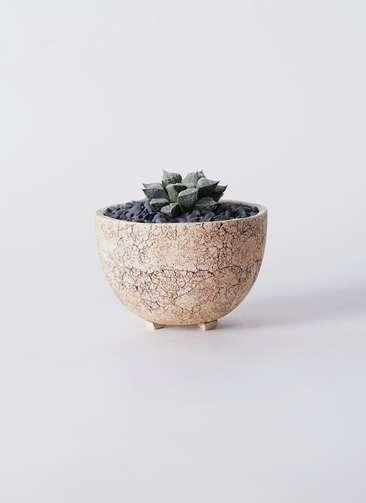 多肉植物 ハオルチア ウイミー 3号 Type02 desert #γ 【S size】