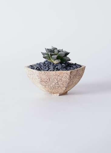 多肉植物 ハオルチア ウイミー 3号 Type02 desert #δ 【M size】
