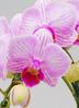 ミディ胡蝶蘭 リトルビビアン 2本立ち和鉢かぐや 2枚目