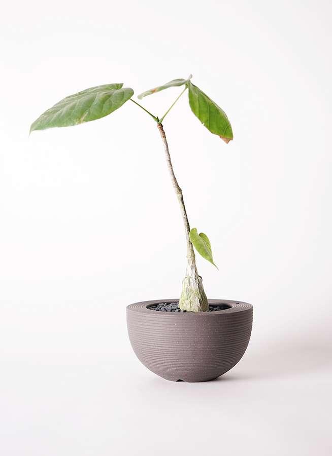 多肉植物 ボンバックス エリプチカム 2号 Hemisphere 【M size】