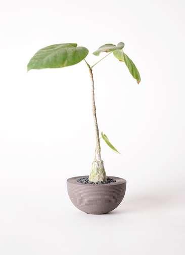 多肉植物 ボンバックス エリプチカム 2号 Hemisphere 【S size】
