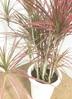 観葉植物 【130cm】ドラセナ コンシンネ スカーレットアイビス 8号 朴タイプ #22030 2枚目