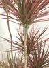 観葉植物 【130cm】ドラセナ コンシンネ スカーレットアイビス 8号 朴タイプ #22030 3枚目