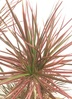 観葉植物 【130cm】ドラセナ コンシンネ スカーレットアイビス 8号 朴タイプ #22030 4枚目