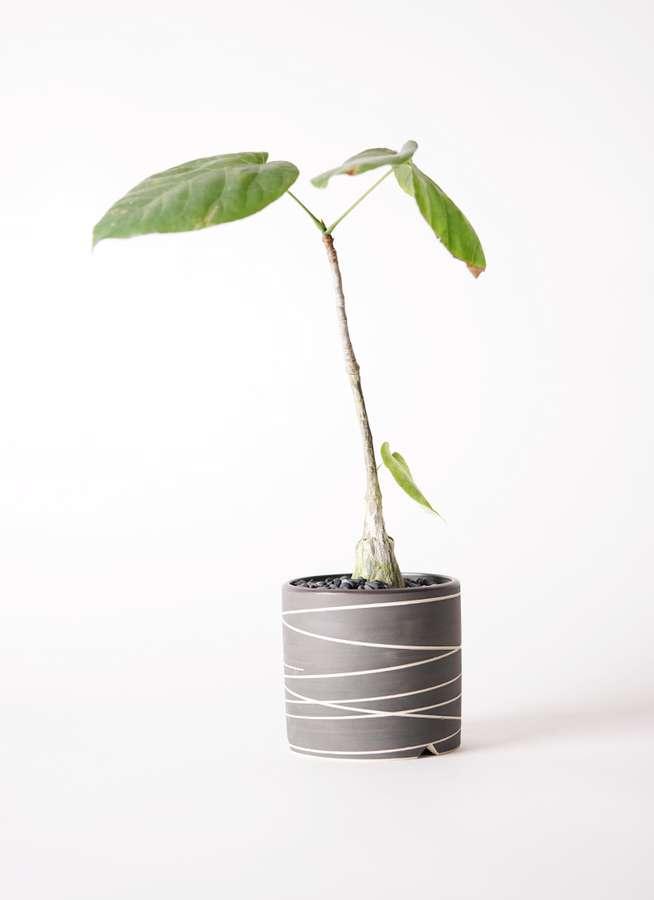 多肉植物 ボンバックス エリプチカム 2号 Kross 【M size】