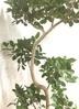 観葉植物 【185cm】フィカス ジャンボリーフ 10号 曲り #22040 ※1都3県配送限定商品 3枚目