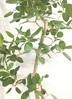 観葉植物 【190cm】【鉢カバー付】フィカス ベンガレンシス 10号 #22044 ※1都3県配送限定商品 3枚目