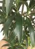 観葉植物 【1都3県 限定配送】 【180cm】【鉢カバー付】ドラセナ アングスティフォリア(リフレクサ) 10号 #22045 5枚目