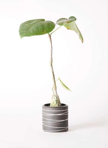 多肉植物 ボンバックス エリプチカム 2号 Kross 【S size】