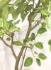 観葉植物 【170cm】【鉢カバー付】フィカス アルテシーマ 10号 #22055 2枚目