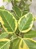 観葉植物 【1都3県 限定配送】 【185cm】【鉢カバー付】フィカス アルテシーマ 10号 #22057 4枚目