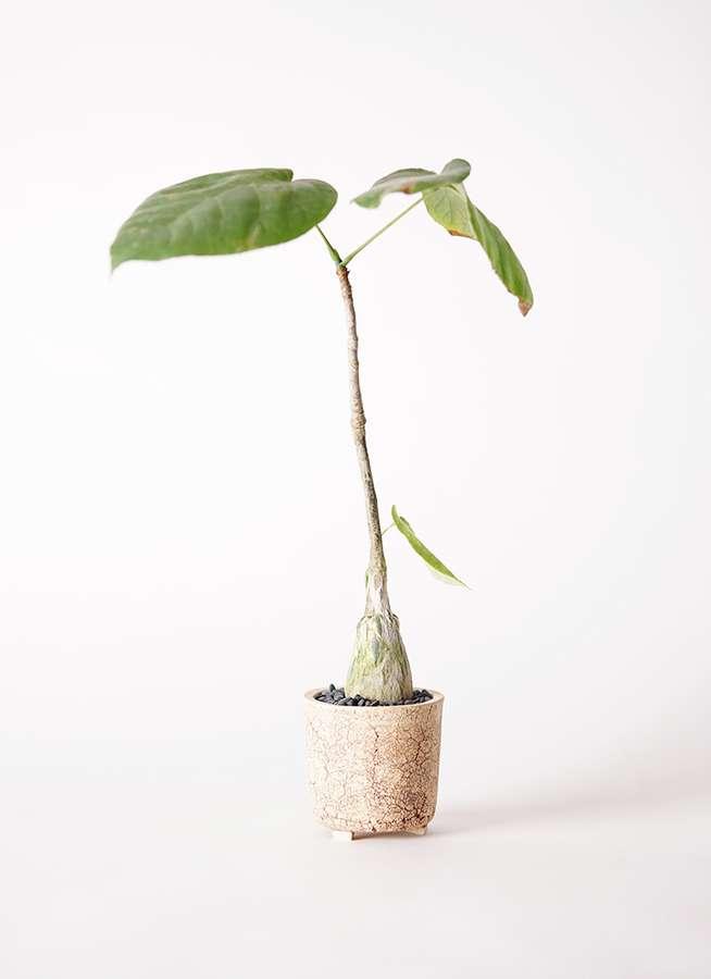 多肉植物 ボンバックス エリプチカム 2号 Type02 desert #α 【S size】