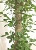 観葉植物 【175cm】ガジュマル 10号 朴タイプ #22085 2枚目