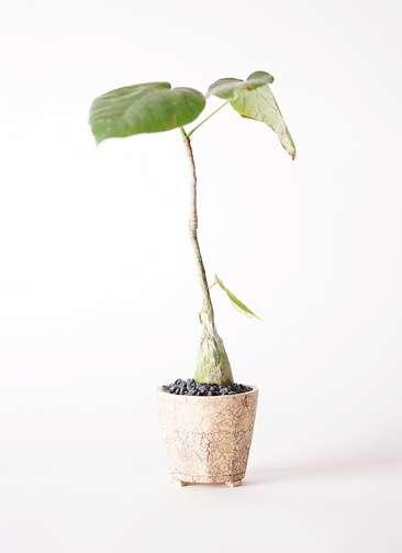 多肉植物 ボンバックス エリプチカム 2号 Type02 desert #β 【M size】