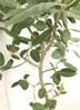 観葉植物 【175cm】【鉢カバー付】フィカス ベンガレンシス 10号 #22089 3枚目