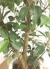 観葉植物 【130cm】ガジュマルの木 8号 #22095 2枚目