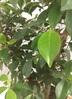 観葉植物 【130cm】ガジュマルの木 8号 #22095 3枚目