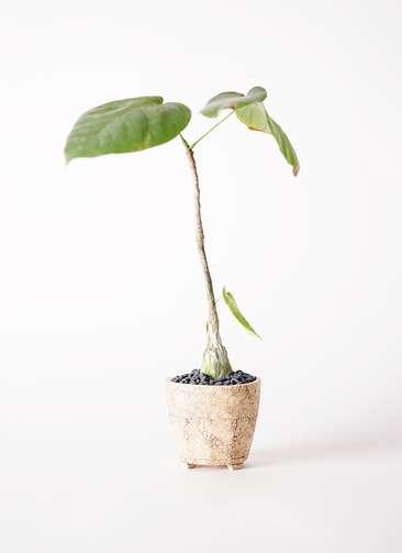 多肉植物 ボンバックス エリプチカム 2号 Type02 desert #β 【S size】