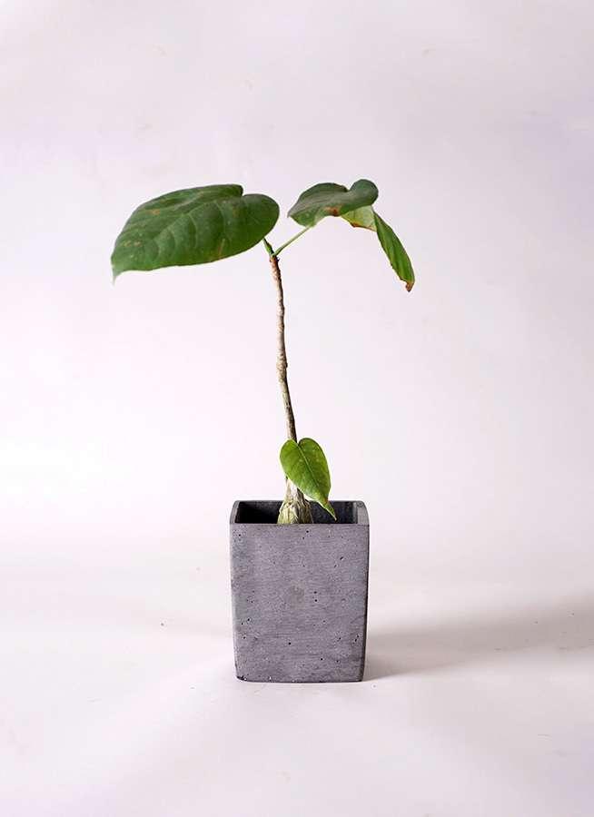 多肉植物 ボンバックス エリプチカム 2号 ポリストーンキューブSブラック 付き
