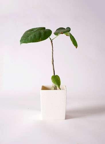 多肉植物 ボンバックス エリプチカム 2号 ポリストーンキューブSホワイト 付き