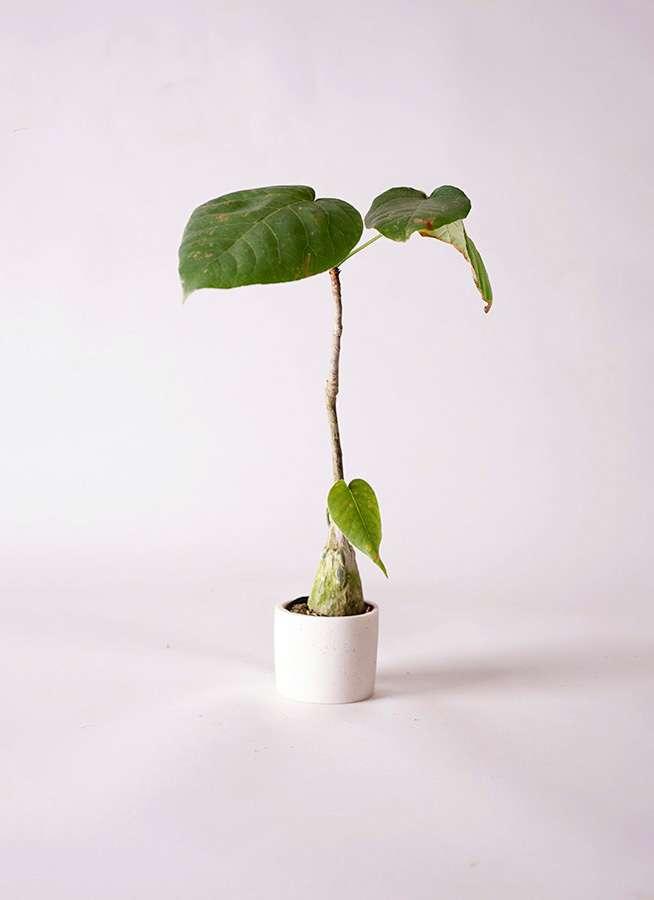 多肉植物 ボンバックス エリプチカム 2号 ポリストーンスーパーミニホワイト 付き