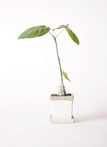 多肉植物 ボンバックス エリプチカム 2号 リト キューブ3号 受け皿付き