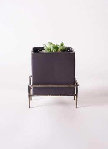 多肉植物 ハオルチア オブツーサ ピリフェラ トルンカータ M 3号 Iron Stand Pot C5303 付き