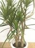 観葉植物 【140cm】ドラセナ コンシンネ 8号 曲り #22148 2枚目