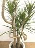 観葉植物 【140cm】ドラセナ コンシンネ 8号 曲り #22148 4枚目