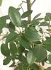 観葉植物 【150cm】フランスゴムの木 8号 曲り #22153 5枚目