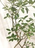 観葉植物 8号 曲り 【160cm】フランスゴムの木 8号 曲り #22156 4枚目
