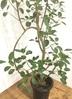 観葉植物 【155cm】フランスゴムの木 8号 曲り #22157 2枚目