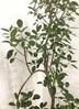 観葉植物 【155cm】フランスゴムの木 8号 曲り #22157 3枚目