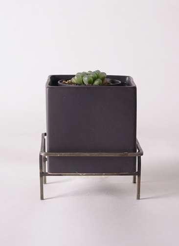 多肉植物 ハオルチア オブツーサ ピリフェラ トルンカータ S 3号 Iron Stand Pot C5303 付き
