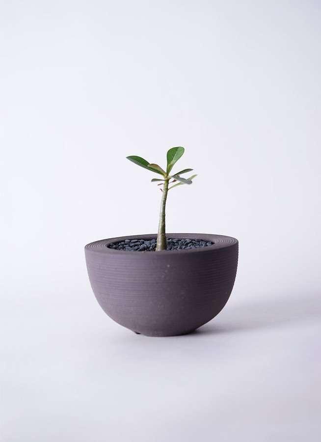 多肉植物 アデニウム オベスム 3号 Hemisphere 【L size】